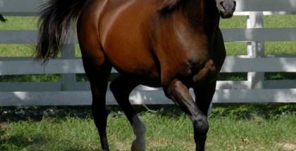 Cigar Horse