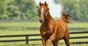 Stallion Feature Curlin
