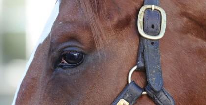 Ziconic Horse
